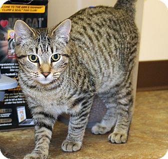 American Shorthair Kitten for adoption in Ruther Glen, Virginia - Zippy