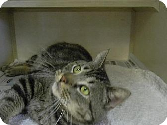 Domestic Shorthair Cat for adoption in Tyner, North Carolina - Shooter