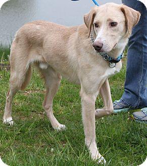Labrador Retriever/Collie Mix Dog for adoption in Staunton, Virginia - Billy