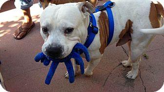 American Bulldog/English Bulldog Mix Dog for adoption in Van Nuys, California - PUFF