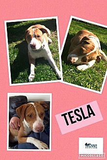 Hound (Unknown Type)/Pit Bull Terrier Mix Dog for adoption in chicago, Illinois - Tesla