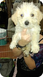 Poodle (Toy or Tea Cup) Mix Puppy for adoption in Thousand Oaks, California - Chrissy