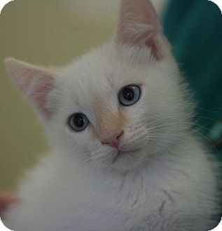 Domestic Shorthair Kitten for adoption in Canoga Park, California - O'Reily