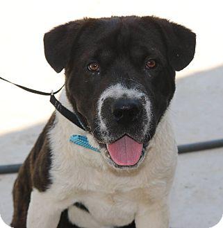 Shar Pei/Cattle Dog Mix Dog for adoption in Pluckemin, New Jersey - Samson