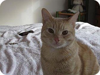 Domestic Shorthair Cat for adoption in Salem, Massachusetts - Zeus