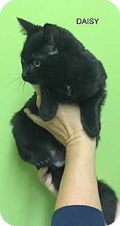 Domestic Shorthair Kitten for adoption in Hibbing, Minnesota - Daisy