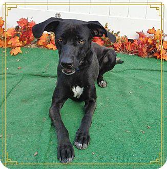 Labrador Retriever Mix Dog for adoption in Marietta, Georgia - GOOSE - adopted @ off-site