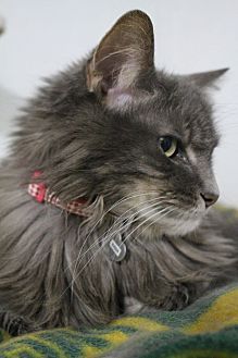 Russian Blue Cat for adoption in Colorado Springs, Colorado - India