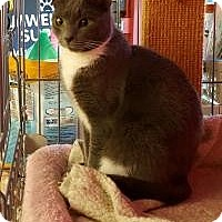 Adopt A Pet :: Pewter - Raritan, NJ