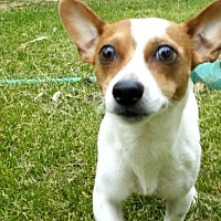 Adopt A Pet :: Sassy - Clayton, CA