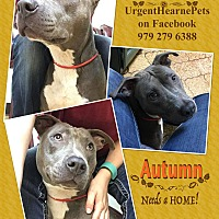 American Staffordshire Terrier Mix Dog for adoption in Hearne, Texas - Autumn