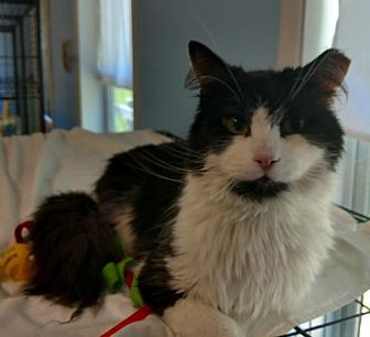 Domestic Longhair Cat for adoption in Attica, New York - Brandon