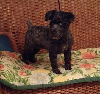 Standard Schnauzer/Toy Poodle Mix Dog for adoption in Tulsa, Oklahoma - Angel