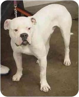 American Bulldog Mix Dog for adoption in chicago, Illinois - Nelsen