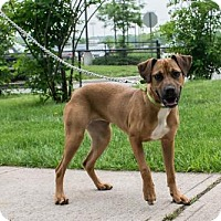 Adopt A Pet :: Callie - Bridgewater, NJ