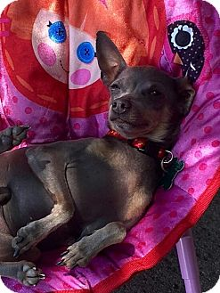 Chihuahua Mix Dog for adoption in La Verne, California - Poe