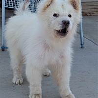 Adopt A Pet :: SNOWY - Eastsound, WA