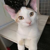 Adopt A Pet :: Ginger - South Saint Paul, MN