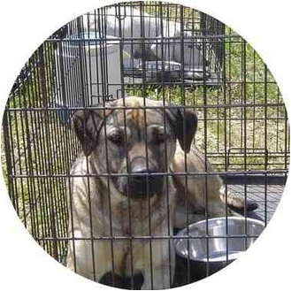 Black Mouth Cur Mix Dog for adoption in Fairfield, Texas - Funny Face