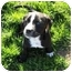 Photo 2 - Boston Terrier/Retriever (Unknown Type) Mix Puppy for adoption in Glastonbury, Connecticut - Capone- new pictures