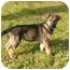Photo 2 - German Shepherd Dog/Labrador Retriever Mix Puppy for adoption in Rigaud, Quebec - Spice