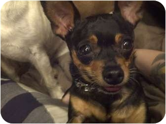 Chihuahua Dog for adoption in Calgary, Alberta - Bumpy