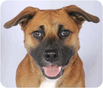 American Pit Bull Terrier/Hound (Unknown Type) Mix Dog for adoption in Chicago, Illinois - Chelsea