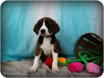 Mountain Cur/Labrador Retriever Mix Puppy for adoption in Southington, Connecticut - Ricky