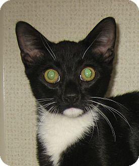 Domestic Shorthair Kitten for adoption in Hamilton, New Jersey - FELIX-2012