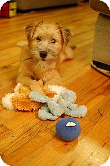 Border Terrier Mix Dog for adoption in Madison, New Jersey - Lily