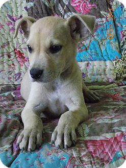 Terrier (Unknown Type, Small) Mix Puppy for adoption in Philadelphia, Pennsylvania - Dyce
