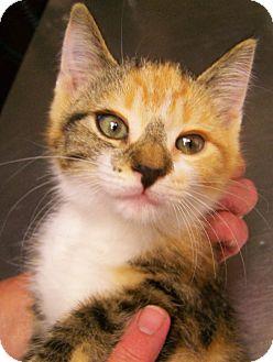 American Shorthair Kitten for adoption in Toledo, Ohio - Josie