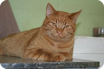 Domestic Shorthair Cat for adoption in Atchison, Kansas - Larry