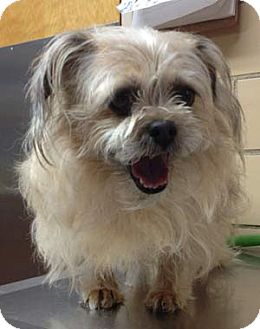 Brussels Griffon/Cairn Terrier Mix Dog for adoption in Mt. Prospect, Illinois - Essie