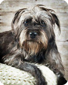 Schnauzer (Standard)/Maltese Mix Dog for adoption in Wytheville, Virginia - Maggie Mae