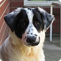 Adopt A Pet :: Abel - New Boston, NH