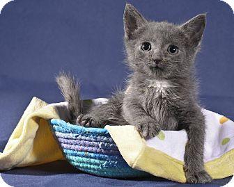 Domestic Shorthair Kitten for adoption in Wayne, New Jersey - Echo
