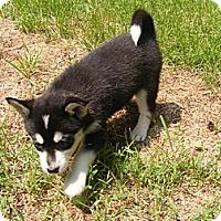 Adopt A Pet :: Lil - Rigaud, QC