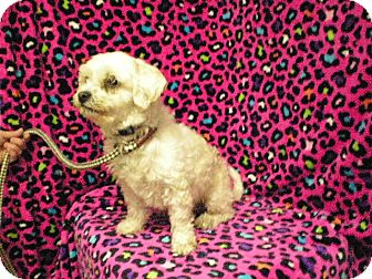 Poodle (Miniature) Mix Dog for adoption in New Castle, Pennsylvania - Macey