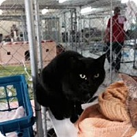 Adopt A Pet :: Maleficent - East Smithfield, PA