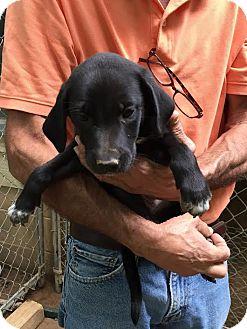 Weimaraner/Labrador Retriever Mix Puppy for adoption in Groton, Massachusetts - Beth
