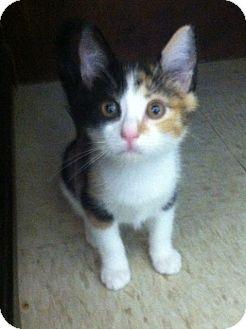 Calico Kitten for adoption in Trevose, Pennsylvania - Ladybug