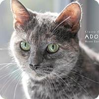 Domestic Shorthair Cat for adoption in Edwardsville, Illinois - Chloe