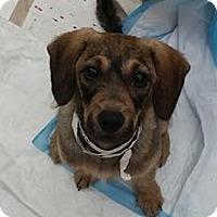 Adopt A Pet :: Violet - Gainesville, FL