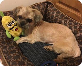 Shih Tzu Mix Dog for adoption in Avon, New York - Lucy