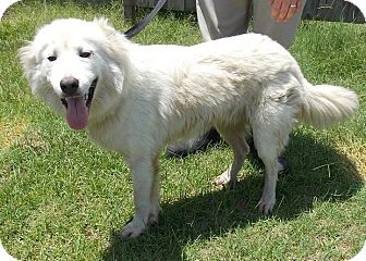 Great Pyrenees/German Shepherd Dog Mix Dog for adoption in Mount Holly, New Jersey - Harley