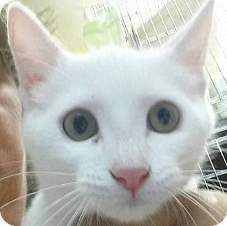 American Shorthair Kitten for adoption in Holden, Missouri - Avalanche Up