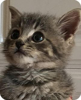 Domestic Shorthair Kitten for adoption in Bryan, Ohio - sassy