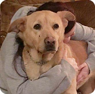 Labrador Retriever/Husky Mix Dog for adoption in Grand Rapids, Michigan - Astrid