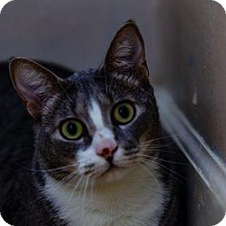 Domestic Shorthair Cat for adoption in Decatur, Georgia - Desi